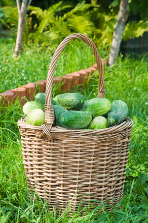 Basket of cucumbers on the grass Stock Photo