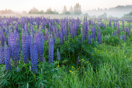 Foggy morning on the field of wild blue lupinus flowers. Beautiful landscape. Russia