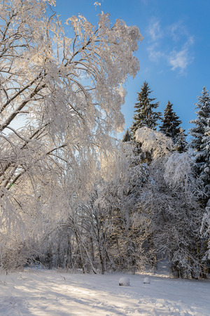 Beautiful forest landscape with trees in the snow