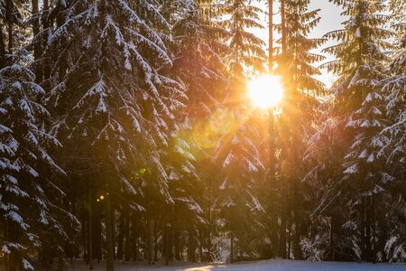 Beautiful sunset in the forest between the fir-trees in winter period