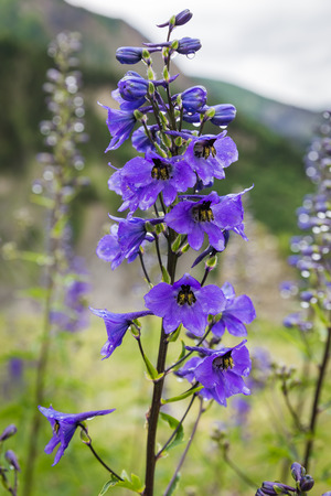 Delphinium flower with drops after rain