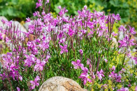 palustre: Flowers of labrador tea (ledum) Stock Photo