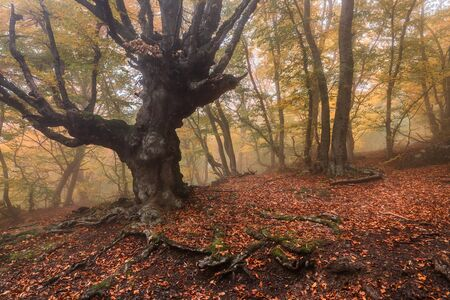 Old beech in misty forest with fog in the autumn