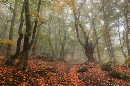 Misty  forest with old beech and fog in the autumn