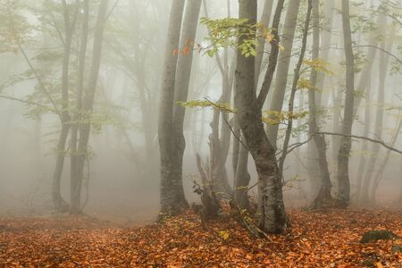 Foggy autumn in the forest. Trees with fallen leaves