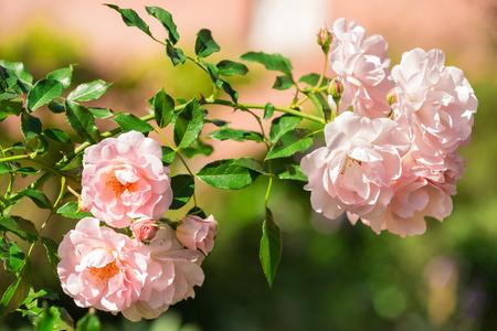 roze: Bush of pink rose flowers in the summer garden