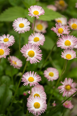 Pink marguerite flowers Bellis perennis in a garden Stock Photo