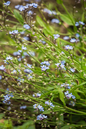 Little blue Myosotis flowers Forget me not blooming in spring garden Stock Photo