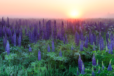 Beautiful field of wild lupines at the foggy sunrise