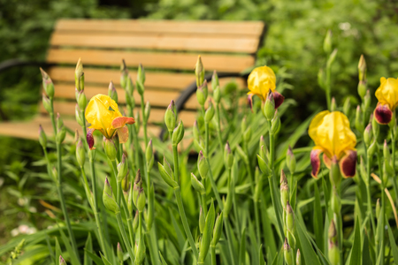 Blooming yellow irises in the garden in front of bench