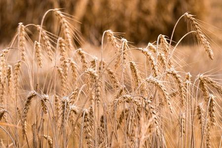 A ripe wheat growing in a field