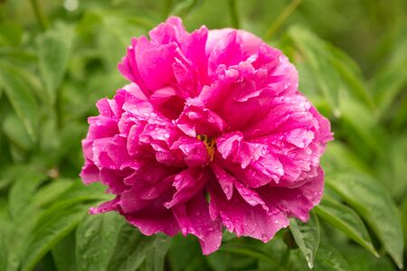 Pink flower of a peony with drops of rain close up Stock Photo