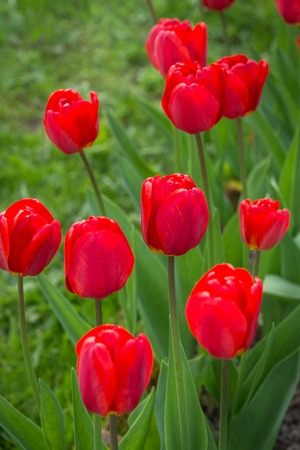 Blossoming red tulips in the garden. Spring concept