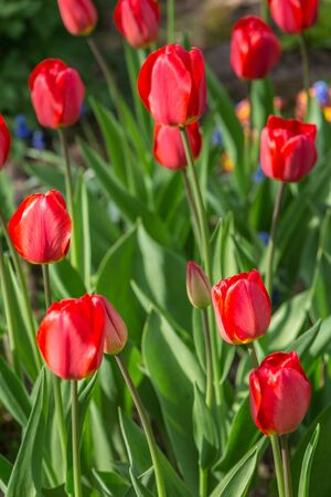 Red tulips in the garden. Spring concept