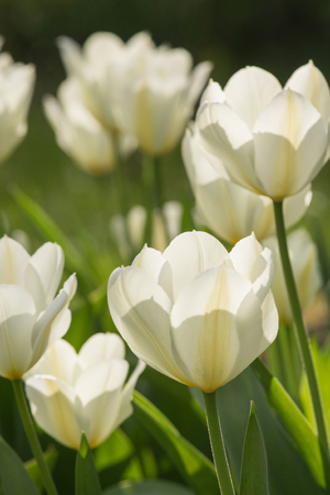 White tulips in the garden. Spring concept Stock Photo