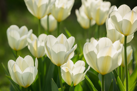 Blossoming white tulips on flowerbed. Spring concept