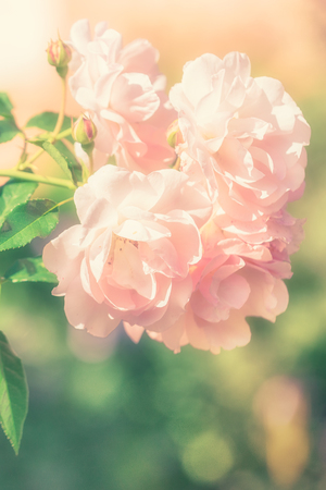 Bush of pink rose flowers in the summer garden in soft style