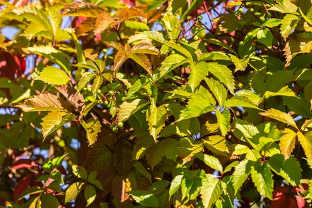 Close up of autumn wild grape leaves background Stock Photo