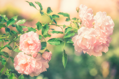 Bush of pink rose flowers in the summer garden on soft pastel color Stock Photo