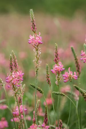 Sainfoin is a perennial forage and honey plant of the legume family