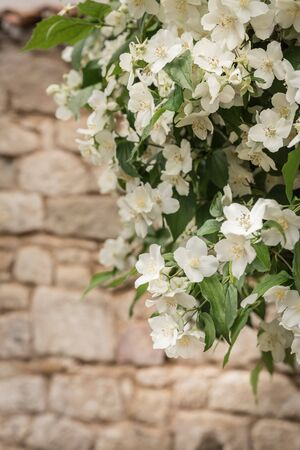Blooming jasmine branch on brick wall background