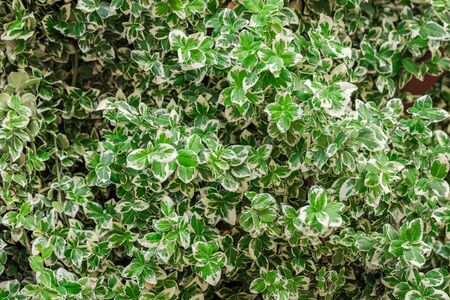 Euonymus fortunei Silver Queen wiht green and white plant leaves Stock fotó