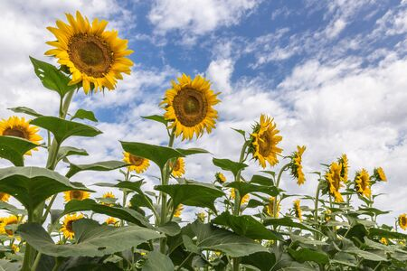 Sunflowers at the field against a blue sky with a clouds in summer