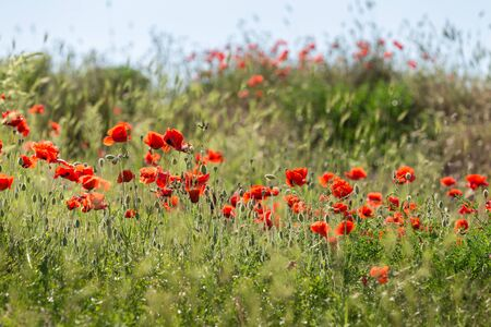Field of bright red corn poppy flowers Stok Fotoğraf