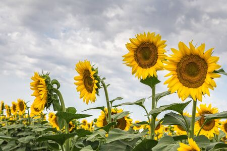 A row of blooming sunflowers against a blue sky with a clouds