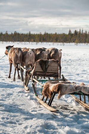 Four deers harnessed to the sleds in winter. Arkhangelsk region, Russia