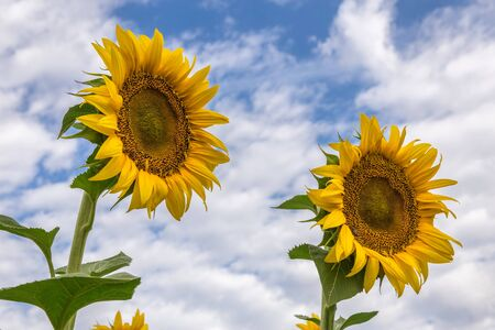 Two blooming sunflowers against a blue sky with a clouds