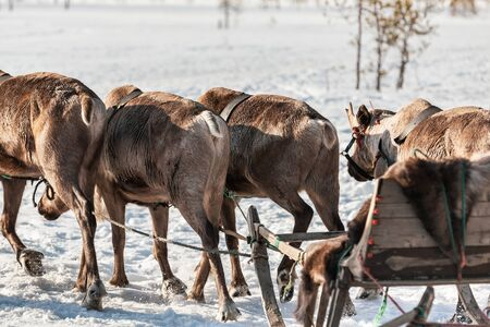 Deers harnessed to the sledges on a sunny winter day. Arkhangelsk region, Russia