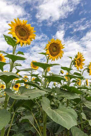 Blooming sunflowers at the field against a blue sky with a clouds in summer