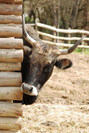A nice cus cow is looking behind Reklamní fotografie - 8285594