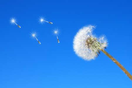 dandelion isolated on the sky photo