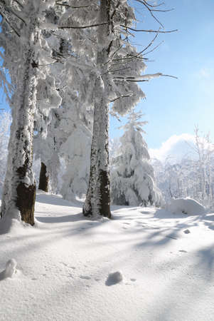 pines and meadows covered with icy snow Stock Photo - 8890014