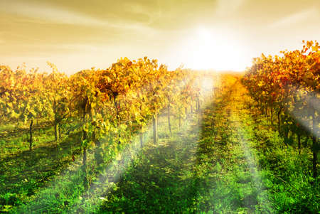sunset in vineyard in autumn photo