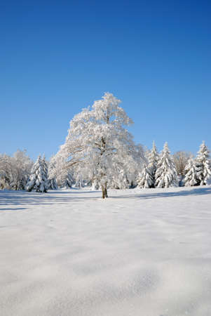isolated  tree covered in snow under a blue sky photo