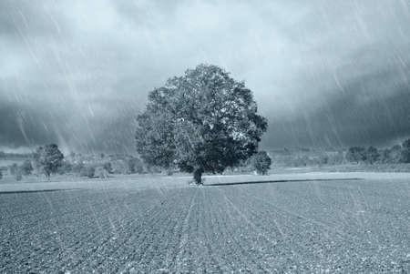 secular oak under the rain