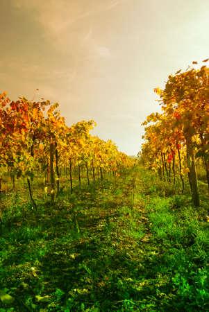 Vineyard in autumn under dramatic sky photo