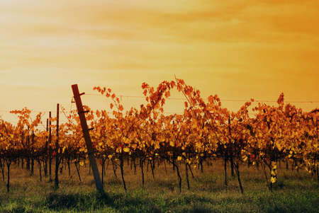 vineyard in autumn in the morning photo