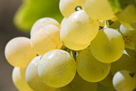 isolated grape of berry in the morning Stock Photo