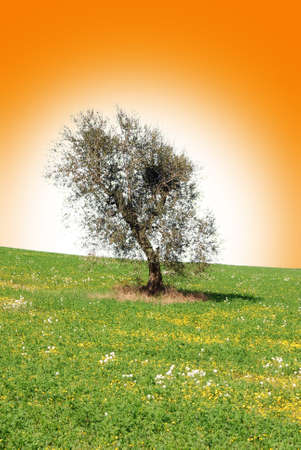 olive trees isolated in front of the sun photo
