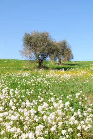 olive hill with flowery meadow photo
