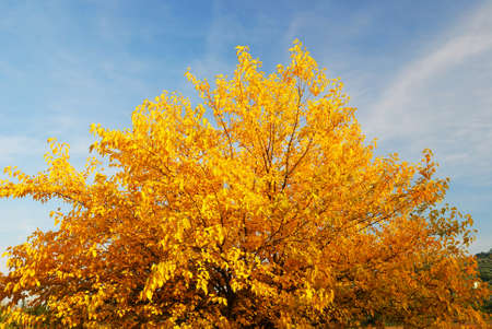 clue: yellow leaves under clue sky