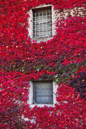 wall surrounded by red ivy Stock Photo - 9221872