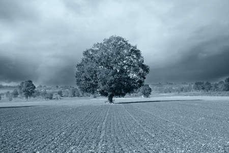 secular: secular oak under cloudy sky Stock Photo