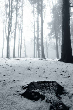 snow covered pine trees shrouded in fog photo