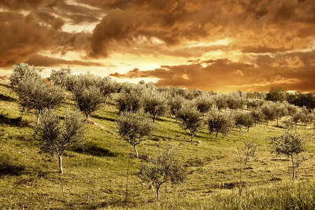 olive trees under dramatic red cloudy sky photo