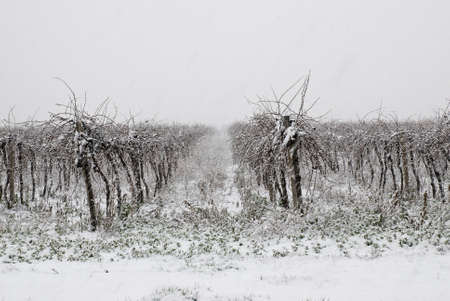 november: vineyard in winter covered by snow